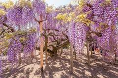Fiore di glicine Fotografie Stock