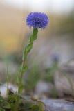 Fiore di Globularia, wildflower, Apennines, Italia Fotografia Stock