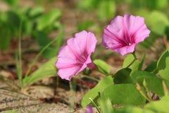 Fiore di gloria della spiaggia (Ipomoea). La Tailandia Fotografia Stock