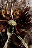Fiore di Groundsel fotografie stock libere da diritti