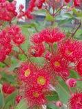 Fiore di Gumtree Fotografia Stock Libera da Diritti