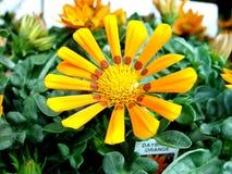Fiore di Guzania Immagini Stock