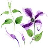 Fiore di hanajima della clematide del Wildflower in uno stile dell'acquerello isolato Fotografie Stock