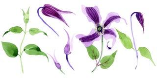 Fiore di hanajima della clematide del Wildflower in uno stile dell'acquerello isolato Immagine Stock Libera da Diritti