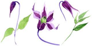 Fiore di hanajima della clematide del Wildflower in uno stile dell'acquerello isolato Immagini Stock Libere da Diritti