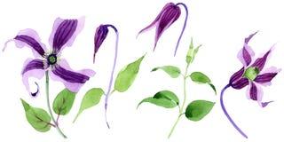 Fiore di hanajima della clematide del Wildflower in uno stile dell'acquerello isolato Fotografia Stock Libera da Diritti