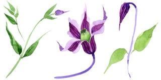 Fiore di hanajima della clematide del Wildflower in uno stile dell'acquerello isolato Fotografia Stock