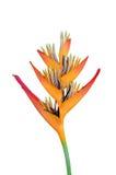 Fiore di Heliconia Immagine Stock