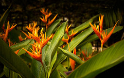 Fiore di Heliconia Fotografia Stock Libera da Diritti