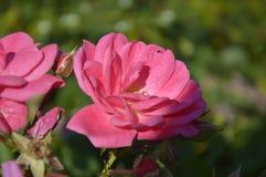 Fiore di Hermosa Flor Beautiful immagine stock libera da diritti