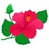 Fiore di Hibisus illustrazione di stock