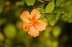 Fiore di Hipiscus Immagine Stock