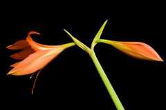 Fiore di Hippeastrum Fotografia Stock