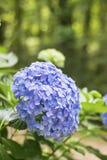 Fiore di Hortensia, fiore dell'ortensia, fondo del fiore immagine stock