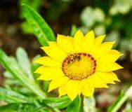 Fiore di hybrida di Verbina nel chiangmai reale Tailandia della flora Immagini Stock
