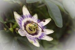Fiore di incarnata della passiflora Immagini Stock