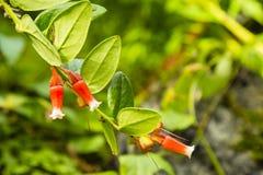 Fiore di insignis di Macleania Immagini Stock Libere da Diritti