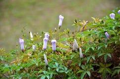 Fiore di ipomea Immagine Stock