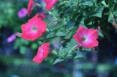 Fiore di ipomea rossa nel giardino Immagini Stock