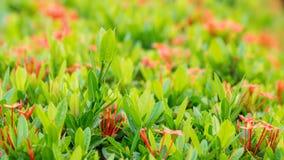Fiore di Ixora Fotografie Stock Libere da Diritti
