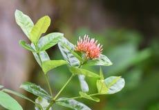 Fiore di Ixora Fotografia Stock