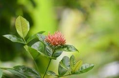 Fiore di Ixora Fotografia Stock Libera da Diritti