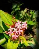 Fiore di Ixora Coccinea fotografia stock