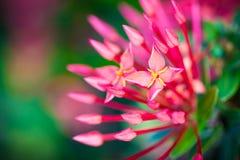 Fiore di Ixora Coccinea Immagine Stock