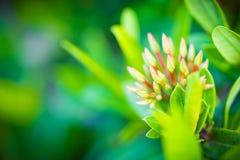 Fiore di Ixora Coccinea Fotografie Stock Libere da Diritti