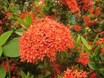Fiore di Ixora di estate Immagini Stock