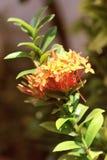 Fiore di Ixora Stricta Immagine Stock