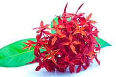 Fiore di Ixora su fondo bianco Immagini Stock Libere da Diritti