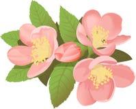 Fiore di japonica del Chaenomeles immagini stock libere da diritti