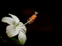 Fiore di Joba immagini stock libere da diritti