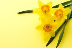 Fiore di Jonquil immagine stock