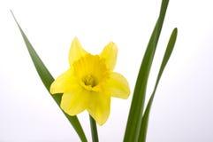 Fiore di Jonquil fotografie stock