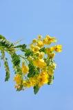 Fiore di Kalamona Immagini Stock