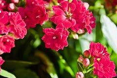 Fiore di Kalanchoe Fotografie Stock