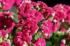 Fiore di Kalanchoe Fotografia Stock Libera da Diritti