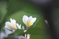 Fiore di Kamboja del frangipane Fotografia Stock Libera da Diritti