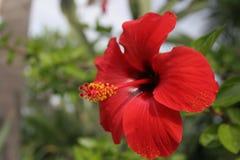Fiore di karkadè Fotografia Stock Libera da Diritti