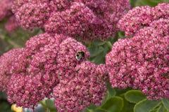 Fiore di Kolanhoe nella sosta di autunno Fotografia Stock Libera da Diritti