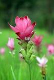 Fiore di Krachiao in Tailandia fotografia stock