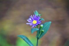 Fiore di Lavendar Fotografie Stock Libere da Diritti
