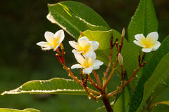 Fiore di Leelawadee Immagini Stock Libere da Diritti