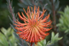 Fiore di Leucospermum Fotografia Stock Libera da Diritti