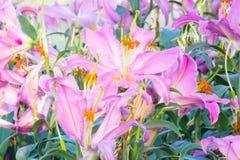 Fiore di Lilly Fotografia Stock