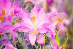 Fiore di Lilly Immagini Stock