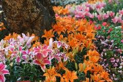 Fiore di Lilly Fotografia Stock Libera da Diritti