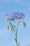 Fiore di lino Immagini Stock